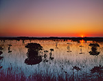 Sunrise over Red Mangroves and Spike Rush in Wetland Prairie, Everglades National Park, FL