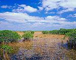 Red Mangroves and Spike Rush in Wetland Prairie, Everglades National Park, FL