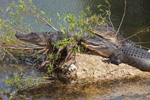 American Alligators (Alligator mississippiensis) along Anhinga Trail in Royal Palm Area, Everglades National Park, FL