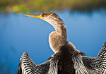 Close-up View of Female Anhinga (Anhinga anhinga), Anhinga Trail in Royal Palm Area, Everglades National Park, FL