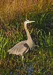 Late Light on Great Blue Heron (Ardea herodias) in Marsh, Anhinga Trail, Royal Palm Area, Everglades National Park, FL