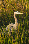 Late Light on Great Blue Heron (Ardea herodias) in Marsh, Anhinga Trail, Royal Palm Area, Everglades National Park, FL