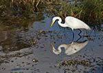 Great Egret (Casmerodius albus) with Reflections in Water, Anhinga Trail in Royal Palm Area, Everglades National Park, FL