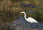 Great Egret (Casmerodius albus) along Anhinga Trail in Royal Palm Area, Everglades National Park, FL