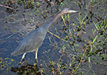 Little Blue Heron (Egretta caerulea) along Anhinga Trail, Royal Palm Area, Everglades National Park, FL