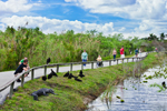 View of the Anhinga Trail with Alligator, Black Vultures and Tourists, Royal Palm Area, Everglades National Park, FL