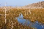 Dwarf Cypress (Taxodium ascendans) and Wetland Prairie in Pa-hay-okee Area, Everglades National Park, FL