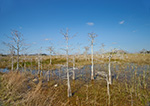Dwarf Cypress (Taxodium ascendans) and Wetland Prairie in Pa-hay-okee Area, Everglades National Park, FL