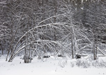 Snow-covered Red Maples after Fresh Snowfall, Phillipston, MA
