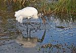 Wood Stork Feeding (Mycteria americana), Anhinga Trail, Royal Palm Area, Everglades National Park, FL