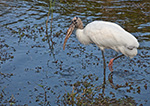 Wood Stork (Mycteria americana), Anhinga Trail, Royal Palm Area, Everglades National Park, FL