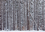 White Pine, Spruce and Fir Trees in Snow-covered Forest, after Heavy Snowfall, Marlboro, VT