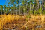Early Morning Sun on Golden Grasses and Pine Forest, Bradwell Bay Wilderness, Apalachicola National Forest, Gulf Coast, Florida Panhandle, Wakulla County, FL