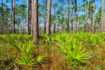 Saw Palmetto and Pine Forest, Bradwell Bay Wilderness, Apalachicola National Forest, Gulf Coast, Florida Panhandle, Wakulla County, FL