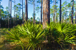 Saw Palmettos in Early Morning Light, Apalachicola National Forest, Gulf Coast, Florida Panhandle, Liberty County, FL
