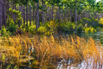Sun-burned Grasses and Forest along Shoreline of Camel Lake, Apalachicola National Forest, Gulf Coast, Florida Panhandle, Liberty County, FL