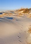 Raccoon Tracks through Dunes on Pea Island National Wildlife Refuge, Cape Hatteras National Seashore, Outer Banks, NC