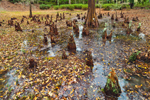 "Bald Cypress ""Knees"" (Taxodium distichum) at Wetland Edge, Orton Plantation, Brunswick County, Orton, NC"