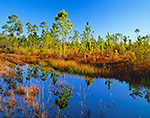 Early Morning Sun in Slash and Longleaf Pine Forest with Reflections, Bradwell Bay Wilderness, Apalachicola National Forest, Wakulla County, FL