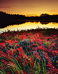 Swamp Loosestrife (Decodon verticillatus) and Ponemah Bog after Sunset, Amherst, NH