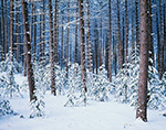Red Pine Forest with White Pine Understory after Fresh Snowfall, Birch Hill Wildlife Management Area, Winchendon, MA