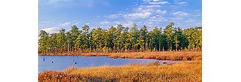 Sedge and Leatherleaf Fen Bordering a Lake, Pine Barrens,  Burlington County, NJ
