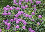 Catawba Rhododendrons in Bloom, Moore State Park. Paxton, MA