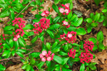 Unusual Red Mountain Laurel Buds about to Bloom, Moore State Park, Paxton, MA
