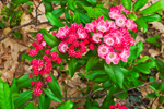Unusual Red Mountain Laurel Buds and Flowers, Moore State Park, Paxton, MA