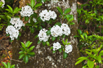 Mountain Laurel Flowers in Bloom, Moore State Park, Paxton, MA