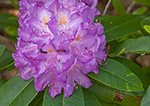 Close-up of Catawba Rhododendron Blossom, Moore State Park. Paxton, MA