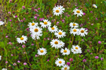 Ox-eye Daisies on HIllside in Watch Hill, Westerly, RI