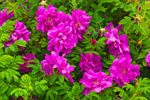 Close-up of Wild Roses (Rosa rugosa), Watch Hill, Westerly, RI