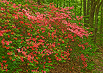Flame Azaleas in Moore State Park, Paxton, MA