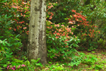 Beech Tree Surrounded by Flame Azaleas and Rhododendrons in Moore State Park, Paxton, MA