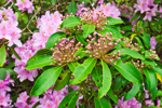 Mountain Laurel Buds with Carolina Rhododendron in Background, Moore State Park, Paxton, MA