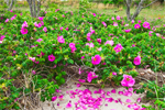 Wild Roses (Rosa rugosa) in Bloom on Shell Beach, West Neck Harbor, Long Island, Shelter Island, NY