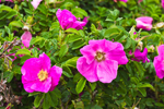 Close-up of Wild Roses (Rosa rugosa) in Bloom on Shell Beach, West Neck Harbor, Long Island, Shelter Island, NY