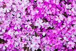 Bicolored Creeping Phlox or Moss Phlox (Phlox subulata ), Royalston, MA