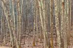 Oak Forest (Hardwood Forest) along Blue Ridge Parkway, George Washington National Forest, Rockbridge County, VA