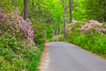 Country Road with Carolina Rhododendrons in Bloom in Moore State Park, Paxton, MA