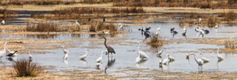 Herons, Egrets and other Wading Birds Feeding in Estuarine Marsh, Bear Island Wildlife Management Area, Ace Basin National Estuarine Research Reserve, Colleton County, SC