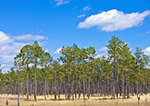 Slash and Longleaf Pine Forest under Blue Skies and Cumulus Clouds, Apalachicola National Forest, Gulf Coast, Florida Panhandle,  Liberty County, FL