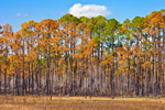 Slash and Longleaf Pine Forest along Doyle Creek after Prescribed Burn, Apalachicola River Wildlife and Environmental Area, Gulf Coast, Florida Panhandle, Franklin County, FL
