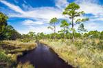 Creek through Pine Forest and Salt Marsh Wetlands, Gulf Coast, Florida Panhandle, Gulf City, FL