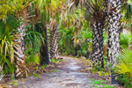 Sabal Palm Trees (Cabbage Palms) on Cedar Point Trail, St. Marks National Wildlife Refuge, Gulf Coast, Florida Panhandle, Gulf of Mexico, Wakulla County, FL