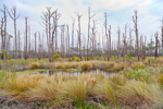 Marsh Grasses and Old Snags (Dead Trees) near Headquarters Pond, St. Marks National Wildlife Refuge, Gulf Coast, Florida Panhandle, Wakulla County, FL