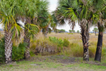 Sabal Palm Trees (Cabbage Palms) and Freshwater Marsh, St. Marks National Wildlife Refuge, Gulf Coast, Florida Panhandle, Wakulla County, FL