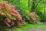 Flame Azaleas along Path in Moore State Park, Paxton, MA