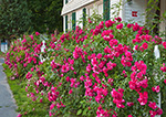 Close-up View of Roses along White Picket Fence at Frederick Scholes House (1905), Essex, CT